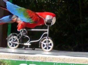perroquetvelo